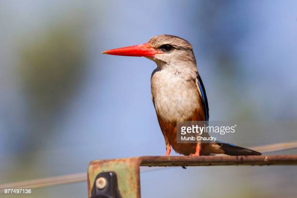 red-beaked kingfisher - gray headed kingfisher stock pictures, royalty-free photos & images