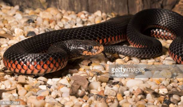 A Redbellied Black Snake showing its tongue Redbellied Black Snakes can be found across all of eastern Australia