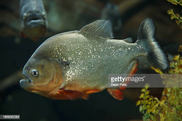 Red-bellied Piranha at the Georgia aquarium