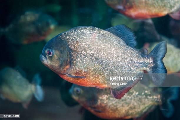 red-bellied piranha - piranha photos et images de collection