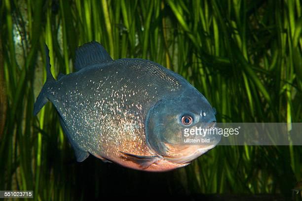 Redbellied Piranha Piranha vermelha Brazil