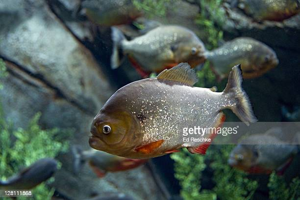 red-bellied piranha, pygocentrus nattereri. a highly predatory carnivore, up to 12 inches long. strong, fast jaws and sharp teeth. found in large areas of the amazon river. georgia aquarium, atlanta, georgia. usa - piranha stock pictures, royalty-free photos & images