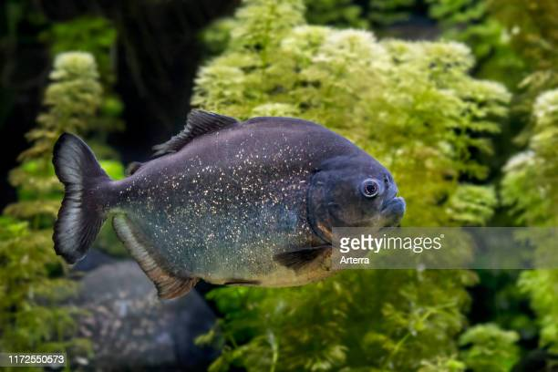 Redbellied piranha / red piranha swimming native to South America