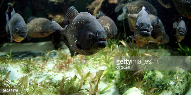Redbellied Piranha swim in their tank in the living rainforest enclosure at ZSL London Zoo on March 25 2010 in London England Entitled 'Rainforest...