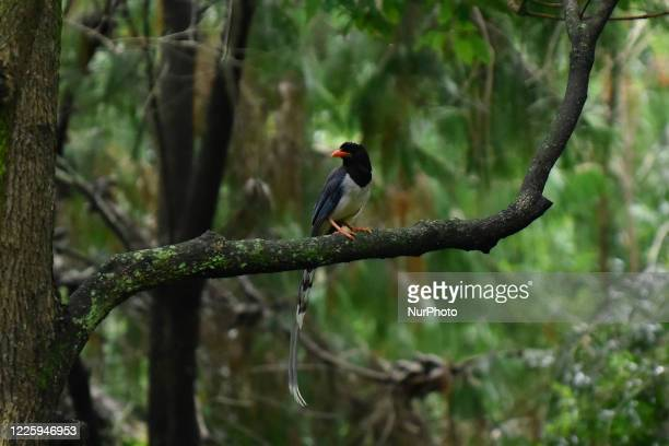 Red-billed blue magpie seen in a tree at Kirtipur, Kathmandu, Nepal on Thursday, July 09, 2020.