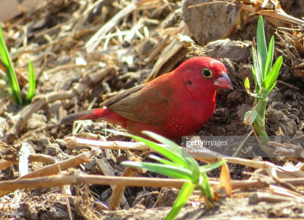 Red-billed firefinch or Senegal firefinch (Lagonosticta senegala) foraging on the ground, Koty, the Gambia : Stock Photo