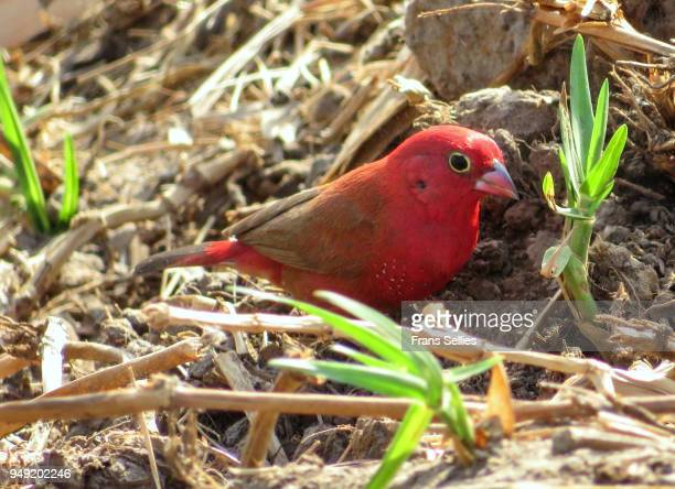 Red-billed firefinch or Senegal firefinch (Lagonosticta senegala) foraging on the ground, Koty, the Gambia