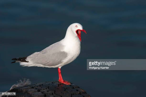 A redbilled gull once also known as the mackerel gull is a native of New Zealand being found throughout the country and on outlying islands including...