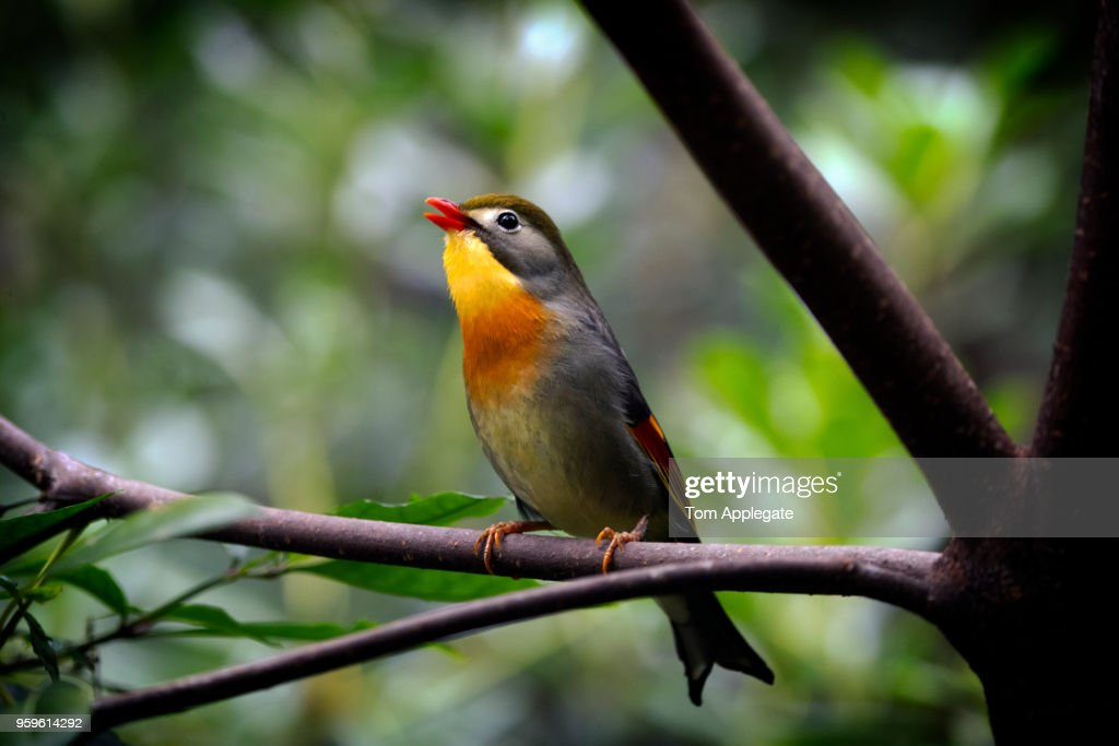 Red-billed leiothrix : Stock-Foto