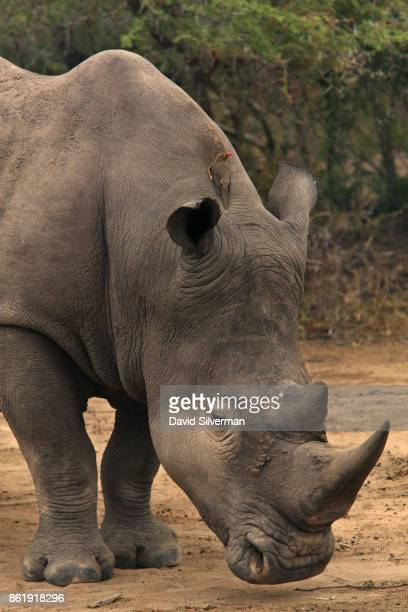 A redbilled oxpecker bird perches on a rhinoceros on March 31 2015 at the Sabi Sands private game reserve in the eastern province of Mpumalanga South...