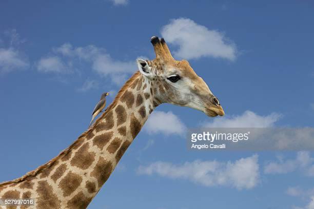 Red-billed Oxpecker (Buphagus erythrorhynchus) on giraffe's neck