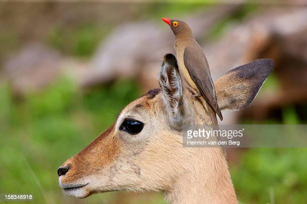 Red-billed Oxpecker on impala's head