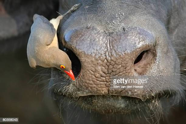 Red-Billed Oxpecker on Ox's face, Greater Kruger National Park, South Africa