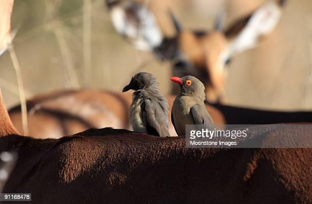Red-billed Oxpeckers in Kruger Park, South Africa