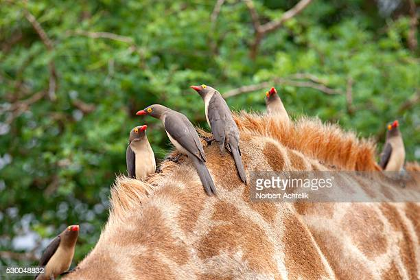 Red-billed Oxpeckers (Buphagus erythrorhynchus) perching on Giraffe (Giraffa camelopardalis), South Africa