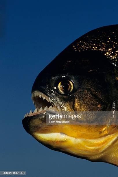 red-billed piranha (pygocentrus nattereri), headshot, brazil - piranha photos et images de collection