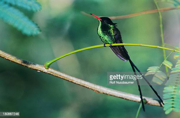 red-billed streamertail (trochilus polytmus), male, blue mountains, jamaica, caribbean - colibri photos et images de collection