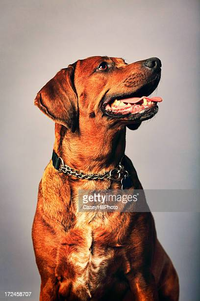 redbone coonhound - coonhound stock pictures, royalty-free photos & images