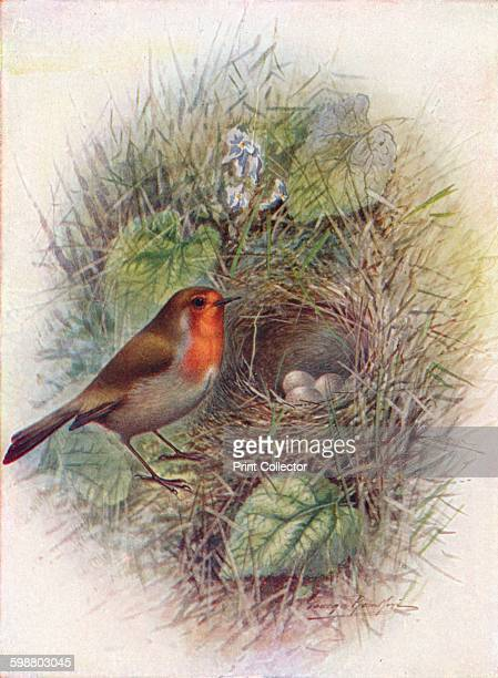 Redbreast or Robin Erithacus rubecula circa 1910 From Britains Birds and Their Nests by A Landsborough Thomson [The Waverley Book Company Limited W R...