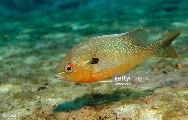 Redbreast Sunfish Lepomis auritus USA Florida FL