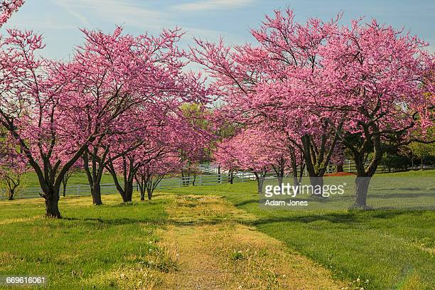Redbud Tree Stock Pictures Royalty Free Photos Images Getty