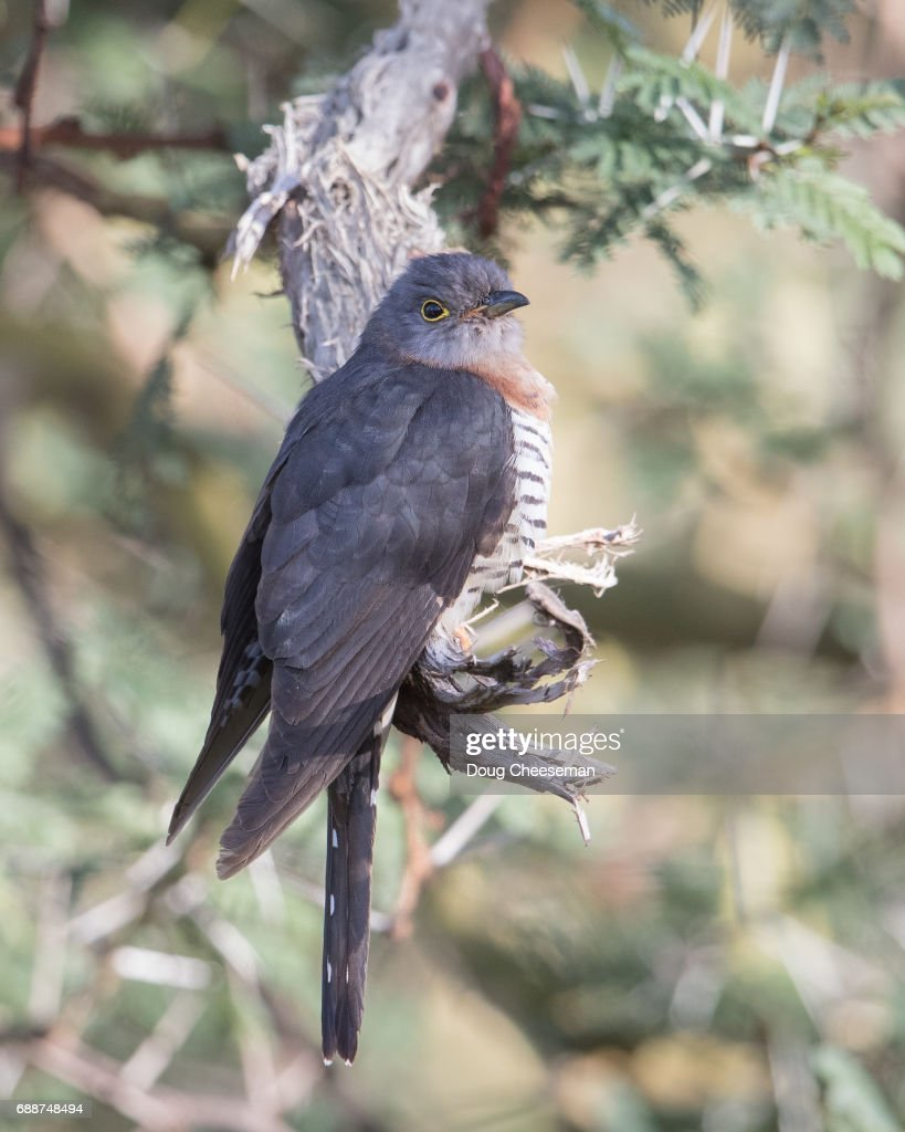 Red-chested Cuckoo : Stock Photo