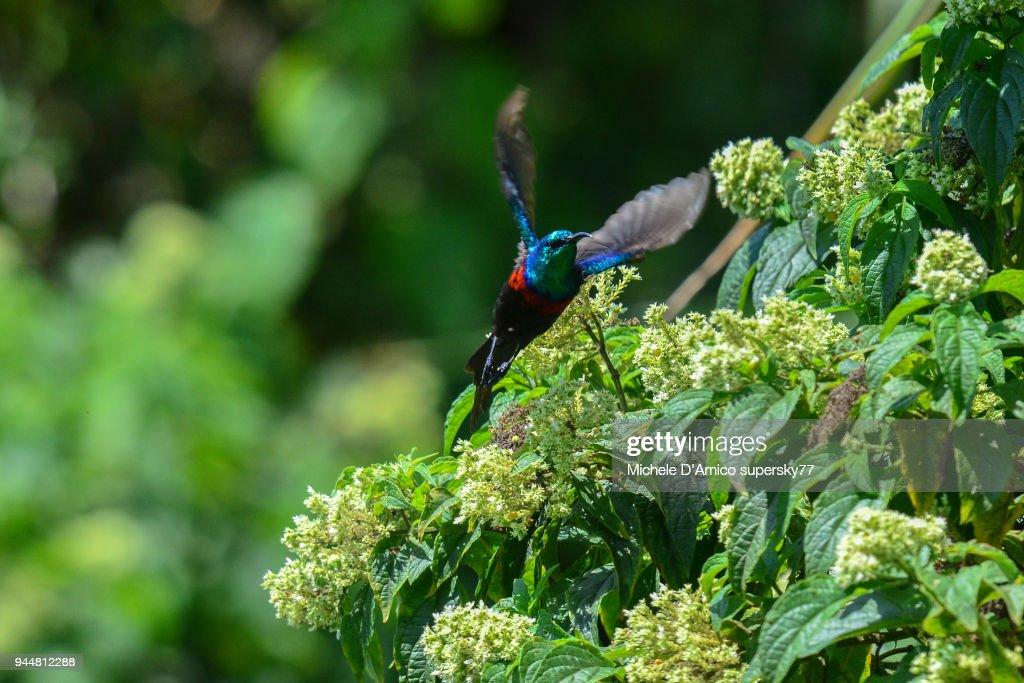 Red-chested Sunbird (Cinnyris erythrocercus) : Stock Photo