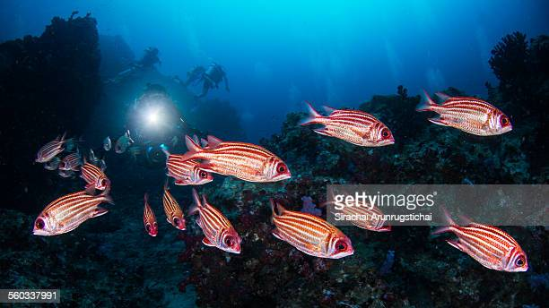redcoat squirrelfish with divers - squirrel fish stock photos and pictures