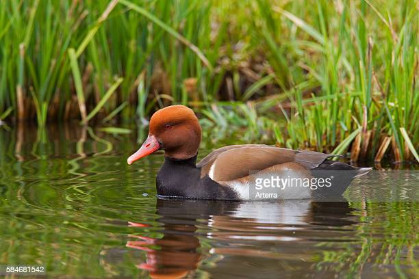 Redcrested pochard male swimming along bank in lake Germany