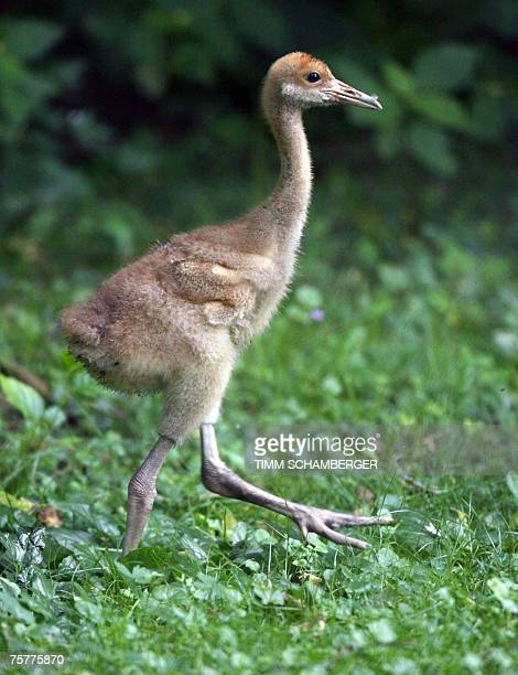 A redcrowned crane chick walks in its enclosure at the zoo in the southern German town of Nuremberg 27 July 2007 The twentydayold chick is a...
