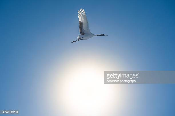 A Red-crowned Crane fly over the sunshine