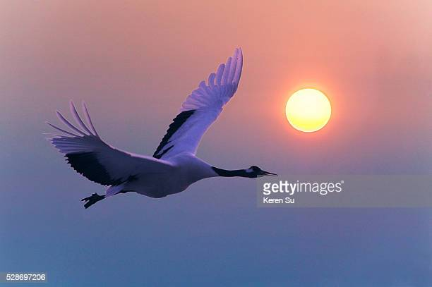 red-crowned crane in flight at sunset - japanese crane stock pictures, royalty-free photos & images