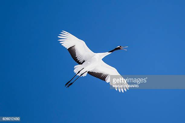 red-crowned crane - japanese crane stock pictures, royalty-free photos & images