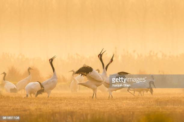 red-crowned cranes dancing. - japanese crane stock pictures, royalty-free photos & images