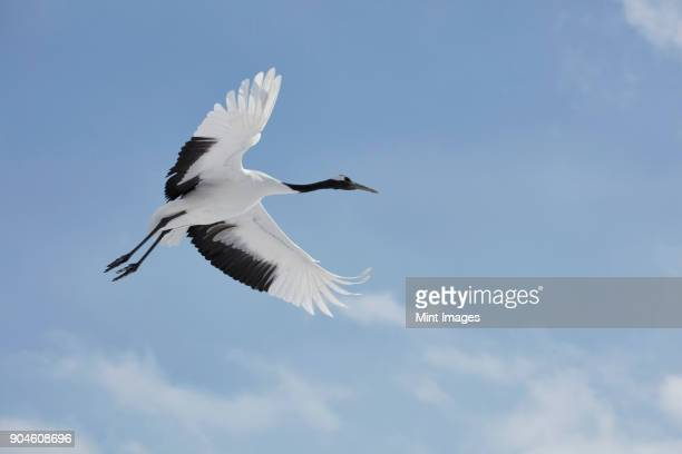 red-crowned cranes, grus japonensis, mid-air in winter. - japanese crane stock pictures, royalty-free photos & images