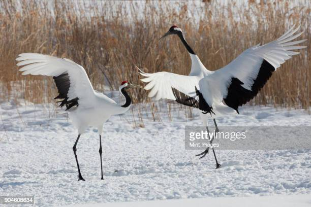 red-crowned cranes, grus japonensis, standing in the snow in winter. - crane bird stock photos and pictures