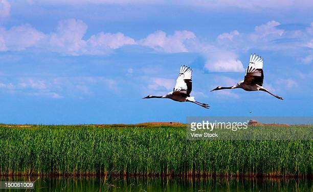 """""""red-crowned cranes (grus japonensis),heilongjiang,china"""" - japanese crane stock pictures, royalty-free photos & images"""