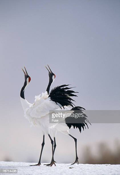 red-crowned cranes in courtship display - japanese crane stock pictures, royalty-free photos & images