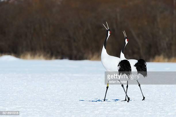 Red-crowned Cranes, Japanese Cranes or Manchurian Cranes -Grus Japonensis-, mating call, Kushiro-Shitsugen-Nationalpark, Kushiro, Hokkaido, Japan