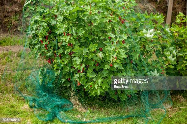 redcurrant bush. - フィンノイ ストックフォトと画像
