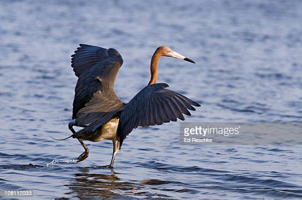 reddish egret, egretta rufescens. while feeding, this heron 'dances.' dashing about with wings spread in a canopy. uncommon. fort de soto state park, florida. - ed reschke photography stock photos and pictures