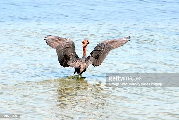 reddish egret in water - natur stock pictures, royalty-free photos & images