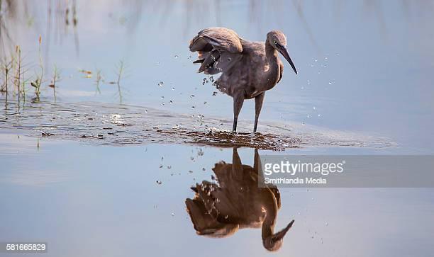 Reddish egret reflecting - egretta rufescens