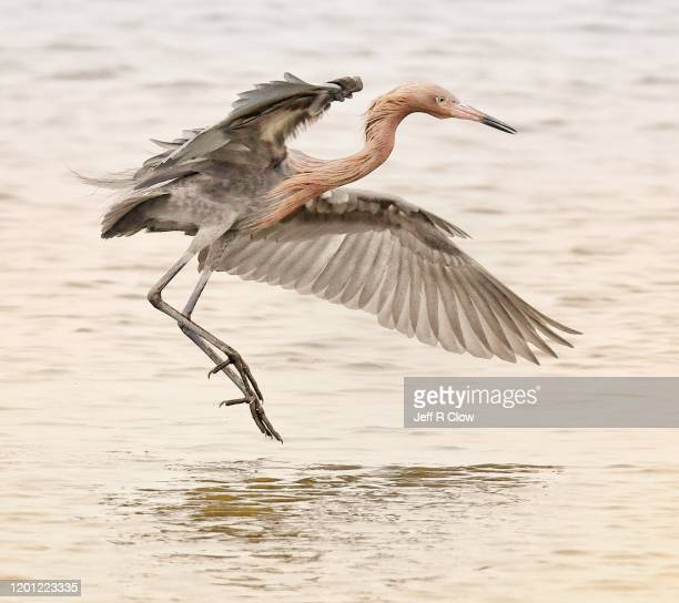 reddish egret with spread wings while hunting - south padre island stock pictures, royalty-free photos & images