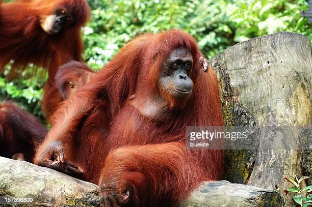 rot-braunen haar orangoutang - fire ape stock-fotos und bilder