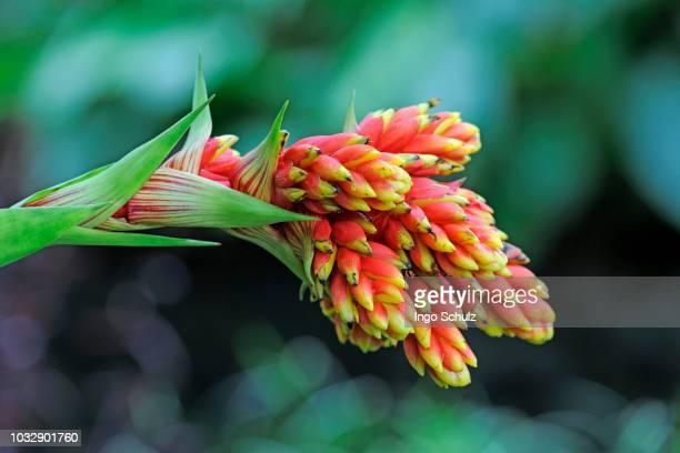 reddish-yellow guzmania (guzmania rubrolutea), ecuador - sud foto e immagini stock