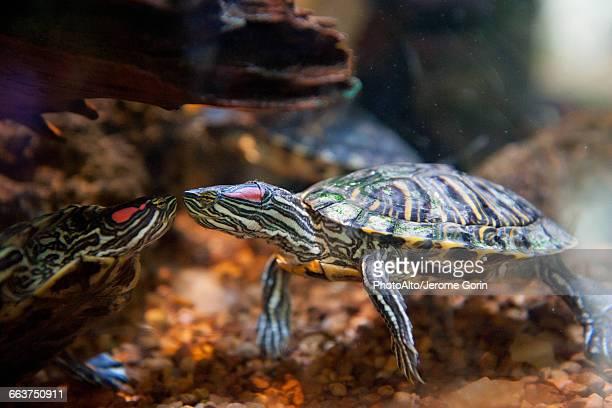 Red-eared slider turtles (Trachemys scripta elegans)