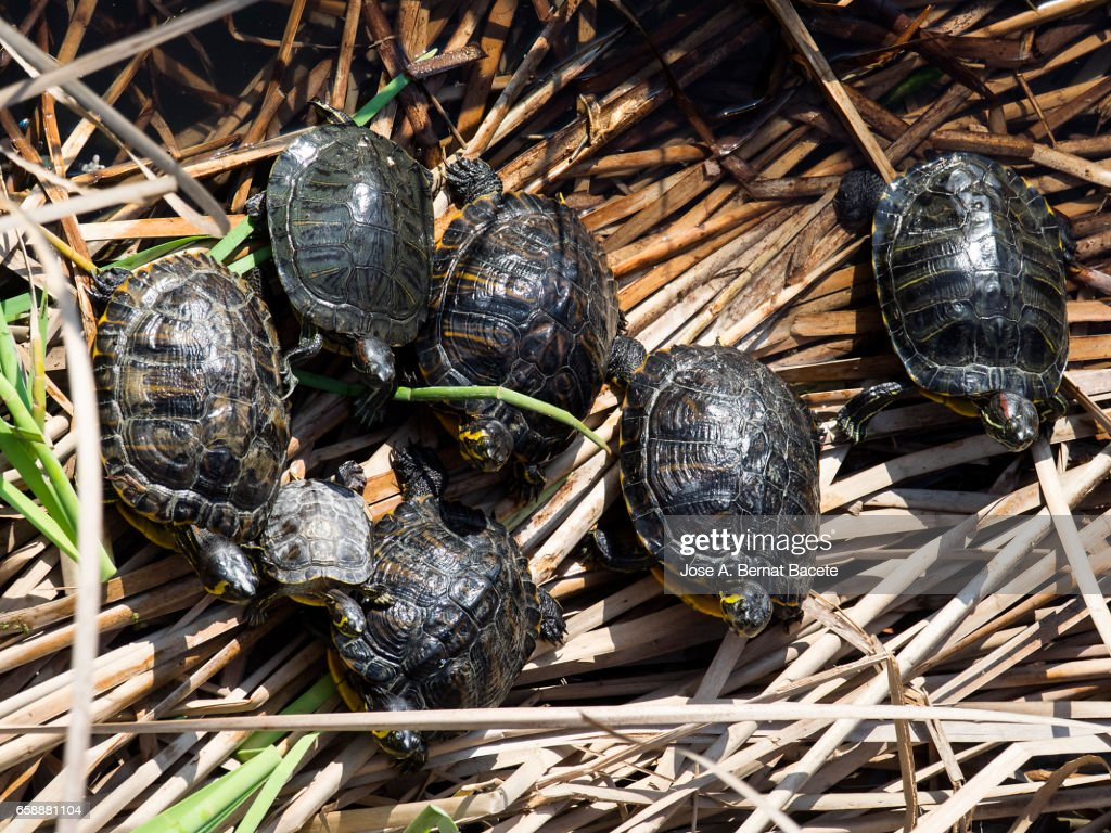 Red-eared sliders / red-eared terrapins (Trachemys scripta elegans / Pseudemys scripta elegans / Emys elegans) group resting on log in lake : Stock Photo