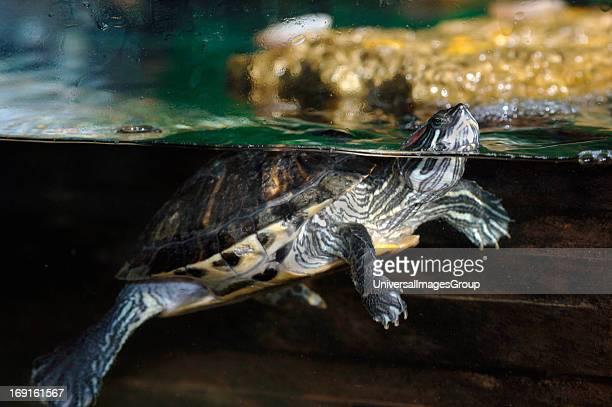 RedEared Terrapin Surfacing In A Fish Tank