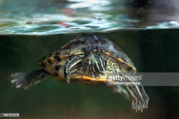 RedEared Terrapin Swimming Underwater In A Fish Tank